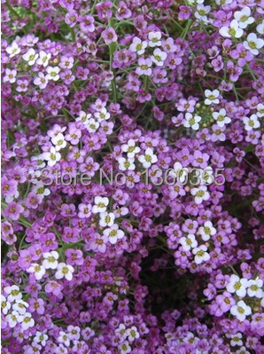 Special fragrant flower seeds Lobularia maritima, Hornsey ball seed, spice snowball,about 50 particles(China (Mainland))