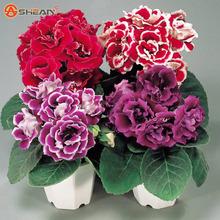 Gloxinia Seeds ( Mixing ) Flower Pot Planters Garden Bonsai Seed 100 Particles / lot - Gardens store