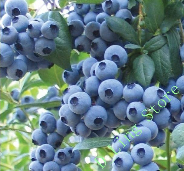 Cheap Bonsai Sweet Blueberry Seeds fruit seed perennial flower pots planters 50seeds.bag(China (Mainland))