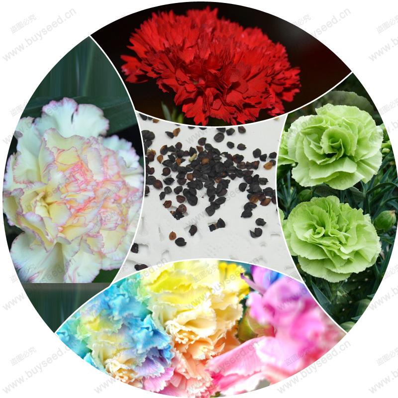 Rainbow carnation seeds of rare white black flower bonsai for home & garden good choice 100% true fresh seeds 200 pcs / bag(China (Mainland))