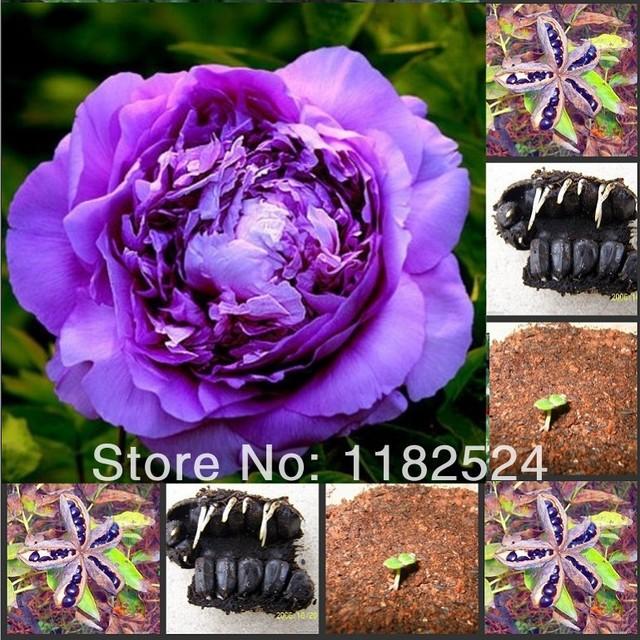 livraison gratuite 100 chinois violet pivoine graines. Black Bedroom Furniture Sets. Home Design Ideas