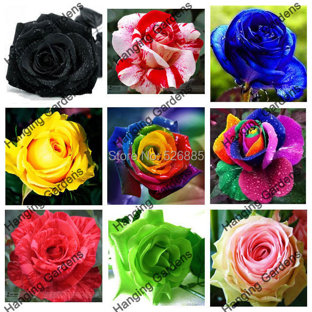 Flower pots planters 20 Kinds Of 50 Seeds Rainbow rose seeds Beautiful rose seed Bonsai plants