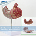 CMAM STOMACH02 Human Digestive System Model Medical Science Stomach Anatomy