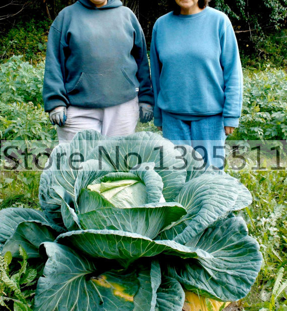 how to grow giant cabbage