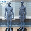 CMAM PRC48 Mini Gray Human Full Body Muscle Anatomical Manikin Model