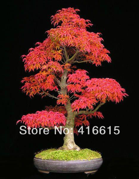 mini jardim oriental:40 Mini Bonito Japanese Bordo Vermelho Sementes de Bonsai, Bonsai DIY