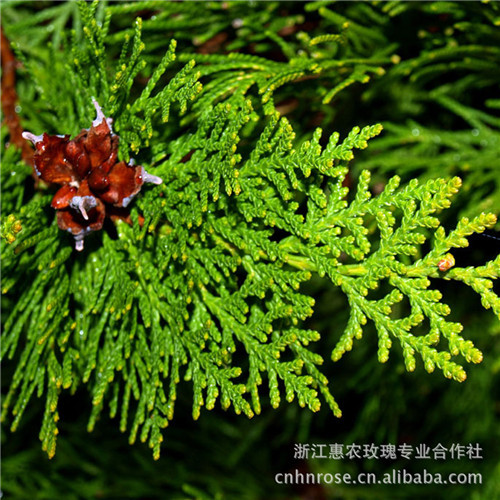 Hot selling 100 seeds/pack Cypress trees seeds Conifer seeds home garden free shipping(China (Mainland))