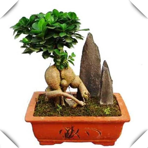 Promoci n de ficus microcarpa compra ficus microcarpa - Ficus benjamina precio ...