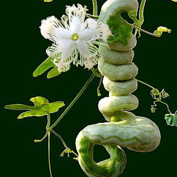 serpent gourd seed,Long like a snake fruits and vegetables,Color packaging seeds-about 4 particles(China (Mainland))