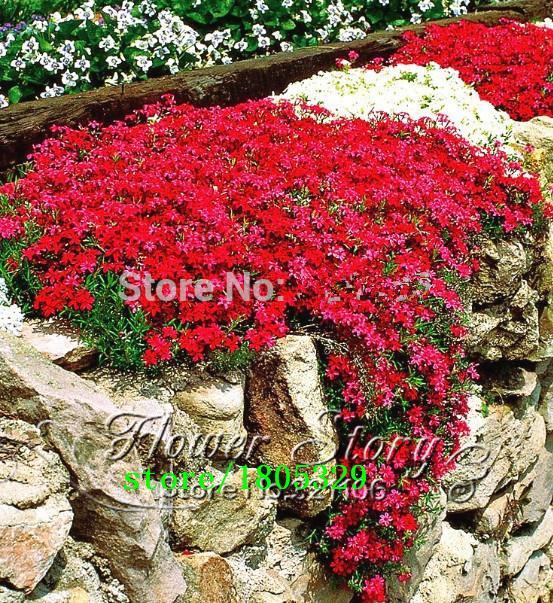 Rouge de fleurs vivaces achetez des lots petit prix rouge de fleurs vivaces en provenance de - Vivace couvre sol longue floraison ...