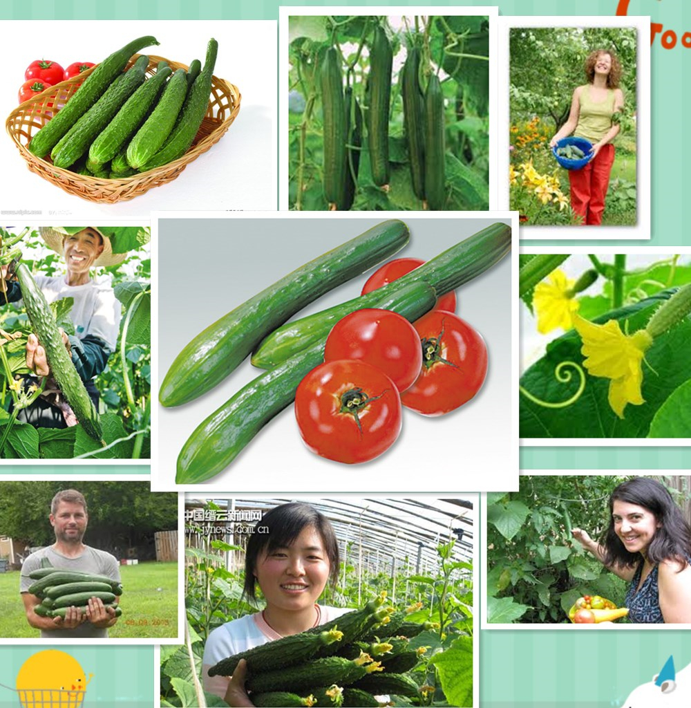 100 SEED Japan Cucumber Delicious Vegetable C072