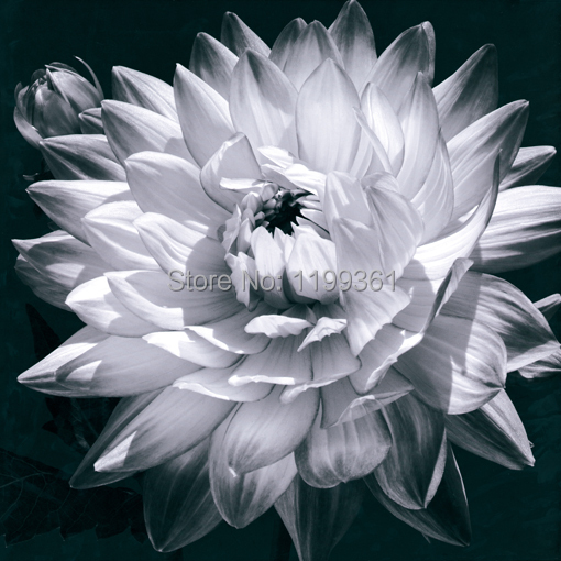 MY Printed Oil Painting Modern Wall Art Home Decoration Canvas Prints Picture No Frame Black and White Blooming Chrysanthemum(China (Mainland))