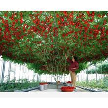 50 Italian Tree Tomato  Rare Heirloom!! Seeds Of Life Tomato Giant Tree Free Shipping