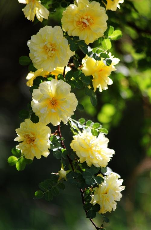 100 SEEDS Yellow CLIMBING ROSES * MORDEN CVS. OF CHLIMBERS AND RAMBLERS * HEIRLOOM * CHINA ROSE * FREE SHIPPING(China (Mainland))