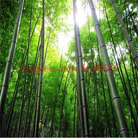 50seeds/bag factory wholesale fresh Bamboo Seeds Cheap Bonsai Free shipping(China (Mainland))