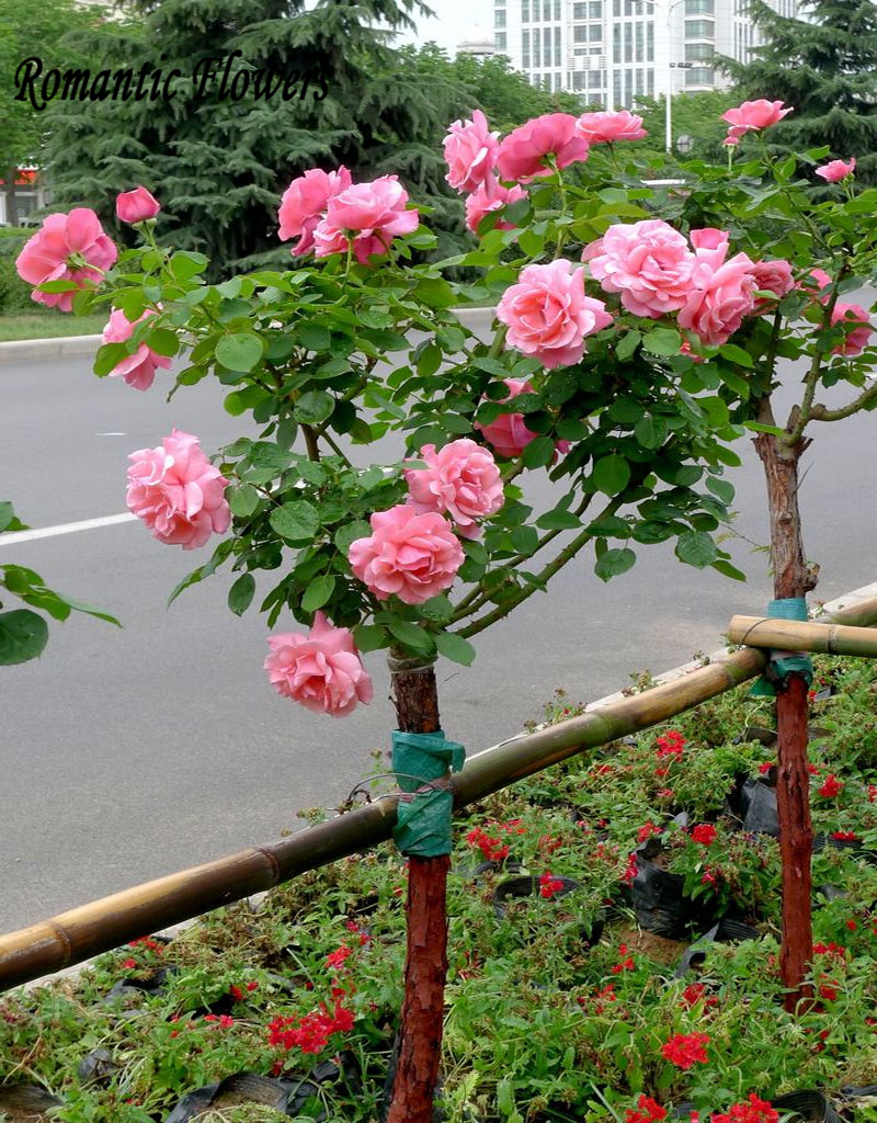 100 particle bag pink chinese lovely rose tree seeds beautiful flowereasy to grow ideal diy - Planting rose shrub step ...