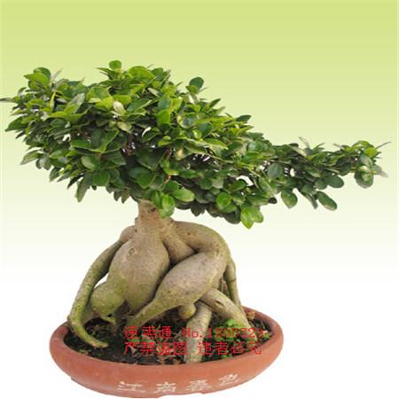 20pcs Rare Genuine Ficus Ginseng seeds Ginseng Herbs seeds Banyan tree seeds Free Shipping(China (Mainland))
