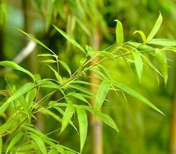 1kg Bamboo Leaf Extract 40%