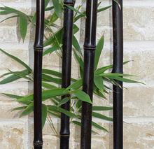 50 seeds/bag rare  BLACK BAMBOO SEEDS - Phyllostachys Nigra Dendrocalamus asper Betung Hitam - Black culmed rough bamboo - seeds(China (Mainland))
