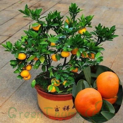 20 Orange Bonsai Tree Seeds DIY Container Garden plants decoration(China (Mainland))