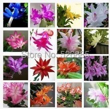 Schlumbergera seeds, potted seed, Zygocactus Truncatus flower seed Garden plants, perennial planting - 100 seeds(China (Mainland))