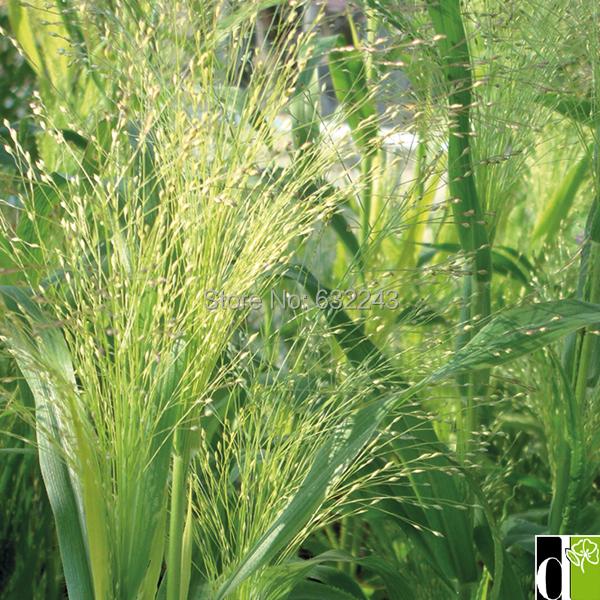 Diy casa jardim planta 10 sementes mediterrâneo Brome Bromus
