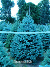 New Fresh Seeds 10 seed/lot Home Garden Plant sky Blue Spruce Picea Pungens Glauca Tree Seeds sementes perennial seeds,#7H0C94(China (Mainland))