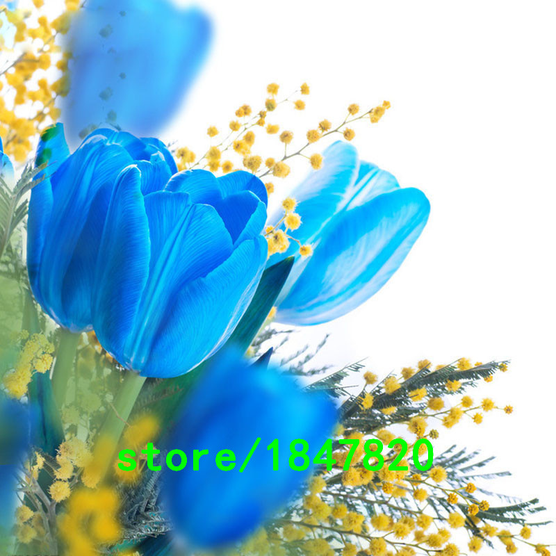 Hot Sale Rare Blue Tulips Flowers Seeds Bonsai Tulip Seeds Flower Plants 500 Particles / lot(China (Mainland))