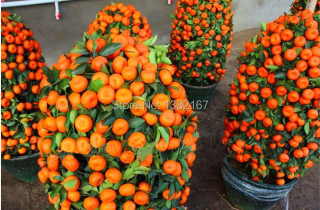 20 pcs saco balcon patio arbres fruitiers plant s en pot graines kumquat graines orange - Arbre fruitier en pot ...
