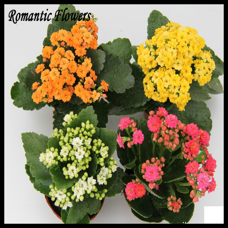 100 Particles/ Bag Kalanchoe Seeds,Potted Plants, Planting Seasons, Flowering Plants,Free Shipping(China (Mainland))