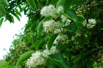 5 white sandalwood seeds free shipping rare seed plants flower seeds(China (Mainland))