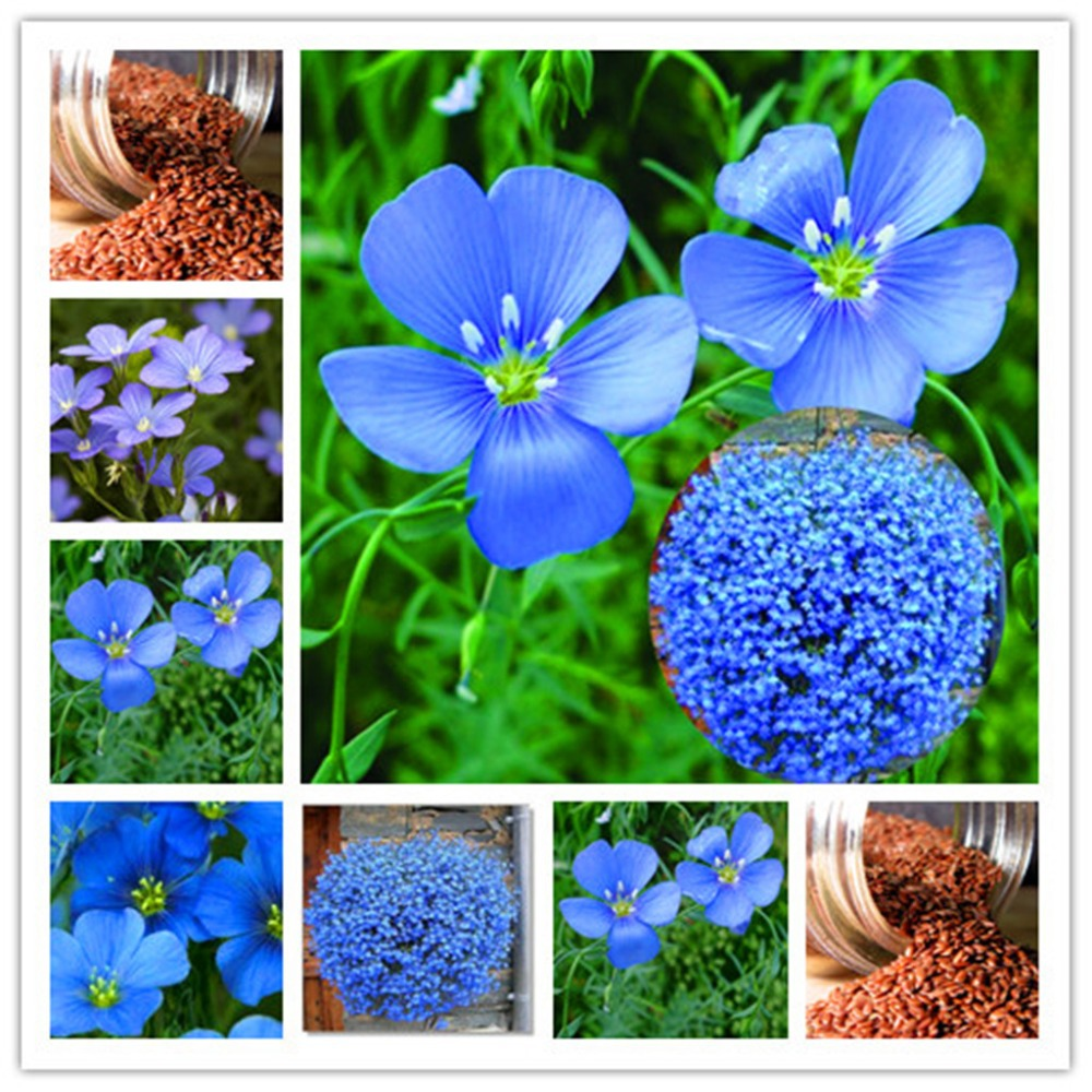 Aliexpress.com : Buy Flax seed flower, blue flax flower ...