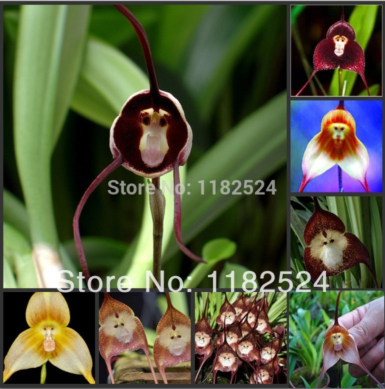 versandkostenfrei 50pcs lot mischung dracula simia orchidee affen orchideensamen blume bonsai. Black Bedroom Furniture Sets. Home Design Ideas