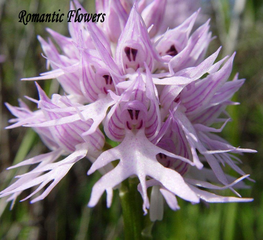 100 Seeds / pack , Orchis italica, also known as: Italian men orchid, pyramid monkey orchid, orchid testes(China (Mainland))