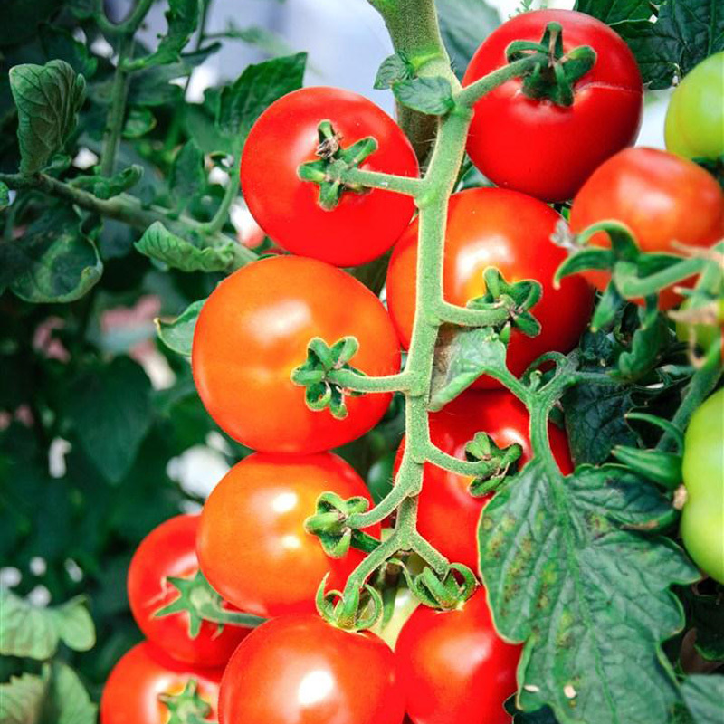 A Package 100 Pcs String Tomato Seed Balcony Bonsai Potted Tomato Plant Seeds Healthy Fruits Vegetables