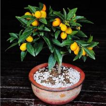 Buy Fruit seed balcony potted plant seeds fruit tree planting seeds Small kumquat seed orange citrus 30 PCS B33 for $1.10 in AliExpress store