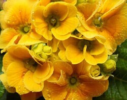 600pcs a lot dark yellow a little green double color hydrangea flower seeds with 30pcs japanese pine tree seed as gift(China (Mainland))