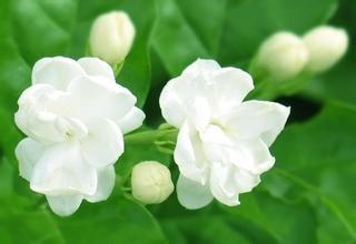 10ml Handmade soap DIY cosmetic Detergent flavor Fragrance essence fruit flavor essence jasmine flavor(China (Mainland))