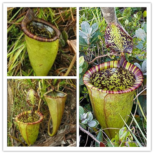 Free shipping Nepenthes seeds Multiple varieties of hybrid Bonsai plants 200PCS home garden Flowers and herbs Carnivorous plants(China (Mainland))