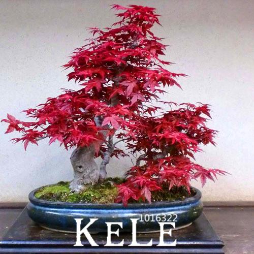 Big Promotion!30 PCS America Maple Seeds Bonsai Trees Very Beautiful red Maple Seeds,#3R16NN(China (Mainland))