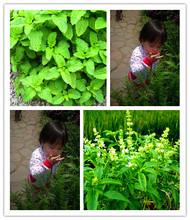 100/bag Stevia Seeds, Stevia Herb Seeds, New Live Fresh Seeds, Guaranteed 90%+ Germination(China (Mainland))