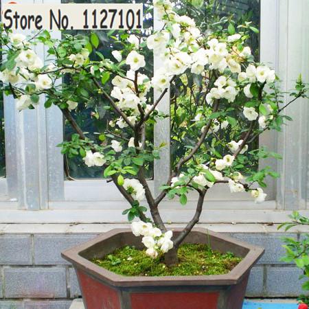 Hot selling 10 PCS White Begonia Flower Seeds 100% True Malus Spectabilis Seeds Potted Begonia Bonsai Tree Seeds DIY Home Garden(China (Mainland))