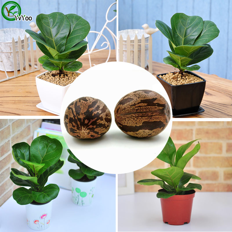 Bonsai Rubber tree Seeds Home Garden Plants Interior decoration Tree Easy to grow 1 Particles / lot AA(China (Mainland))