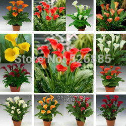 Calla lily seeds, free shipping cheap calla lily seeds, calla lily potted seed, Bonsai balcony flower - 100 pcs/bag(China (Mainla
