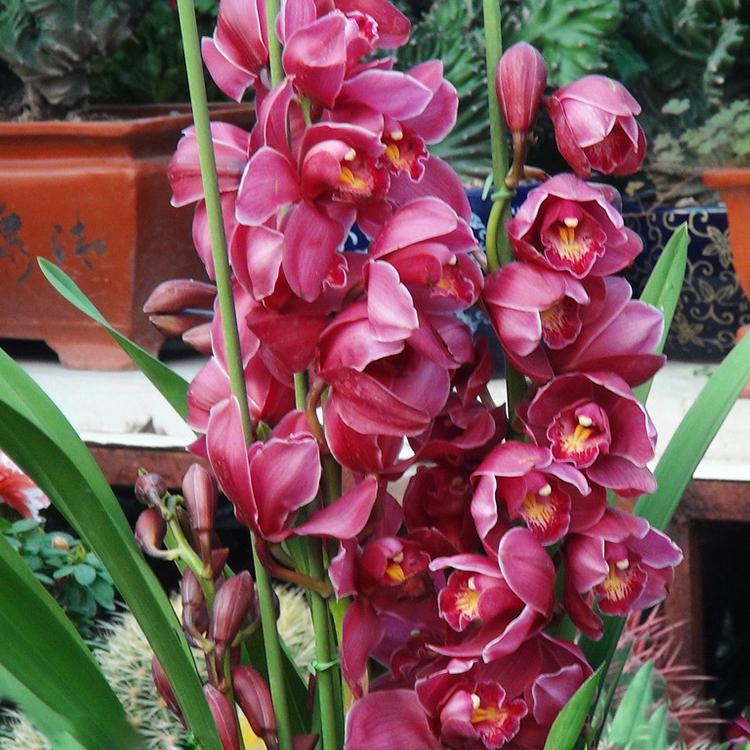 Cymbidium promozione fai spesa di articoli in promozione for Semi orchidea