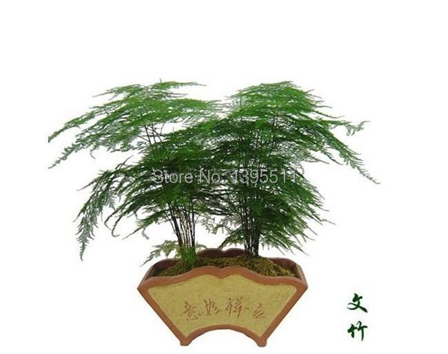 Livraison gratuite 50 pcs lote asperges setaceus graines la maison petites graines graines de - Comment planter des asperges ...