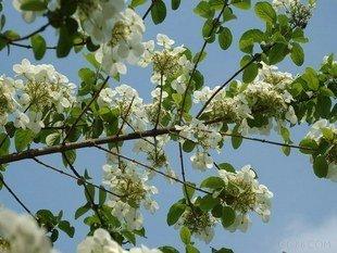 10pcs/bag guelder rose tree Seeds DIY Home Garden