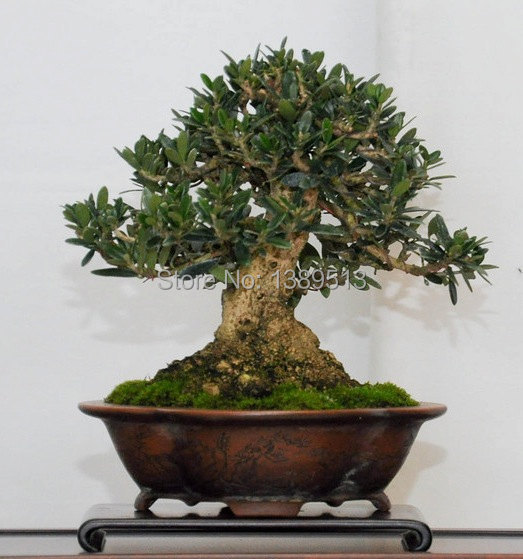10 bag Olive Bonsai tree Olea Europaea Seeds Bonsai Mini Olive Tree Olive Bonsai Fresh Exotic