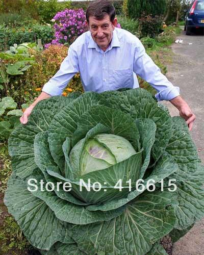 RARE GIANT RUSSIAN CABBAGE MEDICINAL HEALING MEDICINAL 200 SEEDS VITAMIN,Heirloom Vegetable Seeds,Plus Mysterious Gift(China (Mainland))