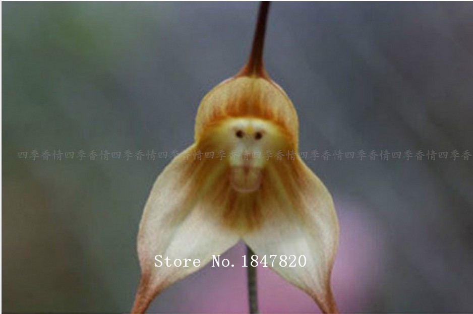 100pcs/lot Monkey face orchids seeds multi-colored orchid flower seeds, Bonsai plants, DIY for home & garden(China (Mainland))